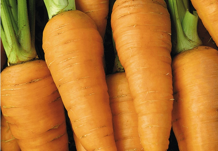 Seeds of Change® Organic Red Core Chantenay Carrot Seeds plant