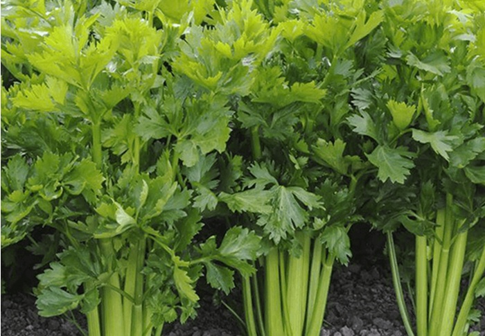 Seeds of Change® Organic Utah Celery Seeds plant