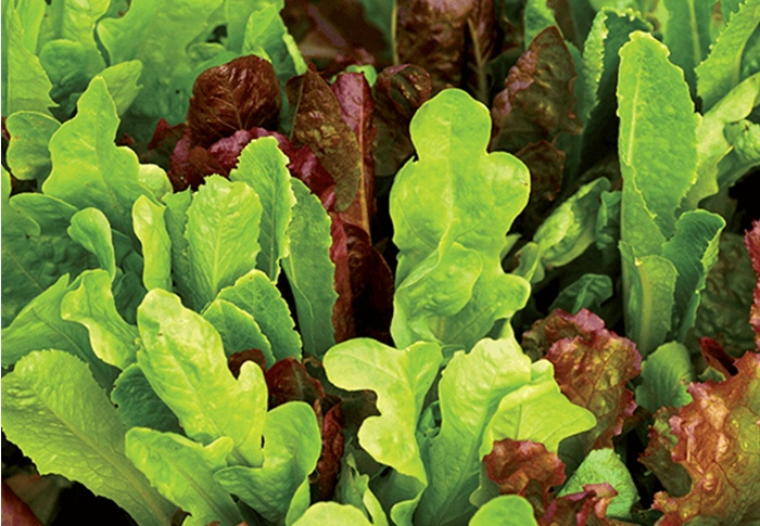 Seeds of Change® Organic All Lettuce Blend Seeds plant