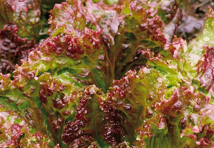 Seeds of Change® Organic New Red Fire Lettuce Seeds plant