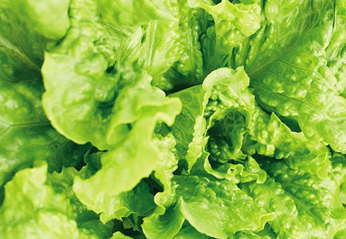 Seeds of Change® Organic Concept Lettuce Seeds plant