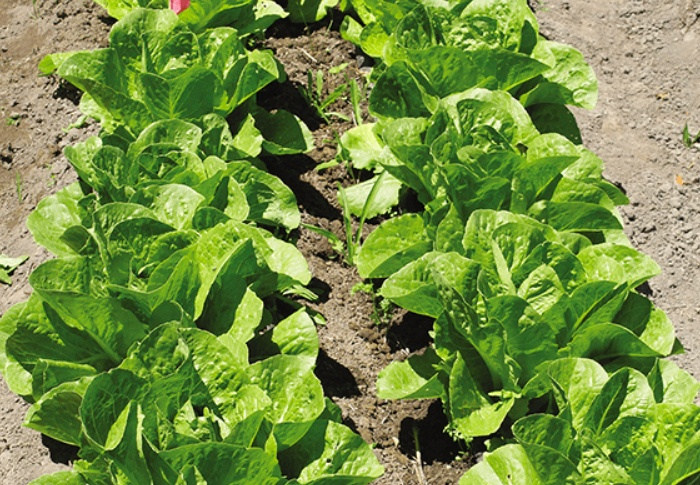 Seeds of Change® Organic Green Romaine Lettuce Seeds plant