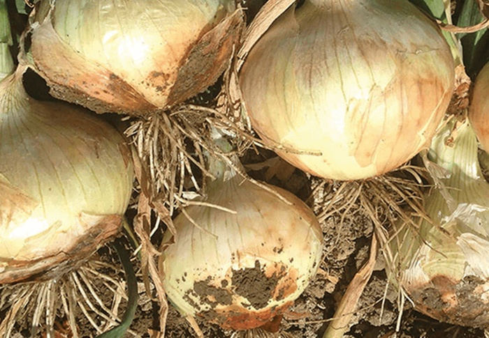 Seeds of Change® 0 Organic Zoey Onion Seeds plant