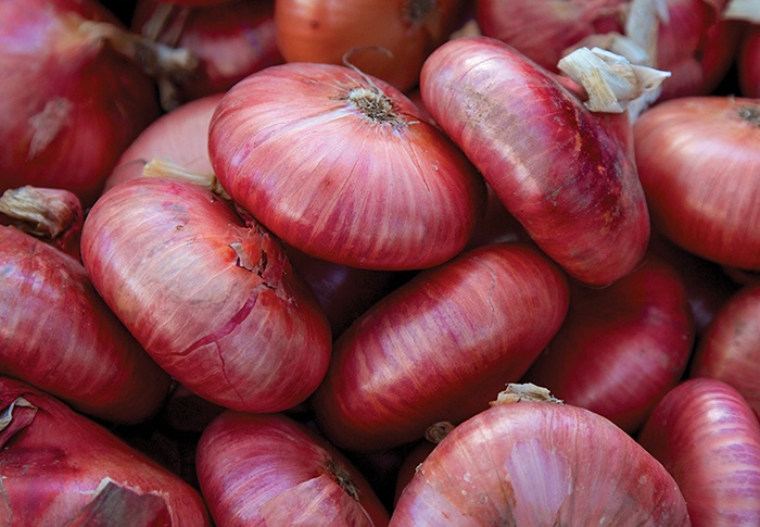 Seeds of Change® Organic Red Cippolini Onion Seeds plant