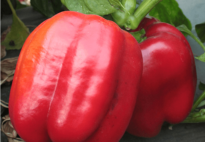 Seeds of Change® Organic Big Red Bell Pepper Seeds plant