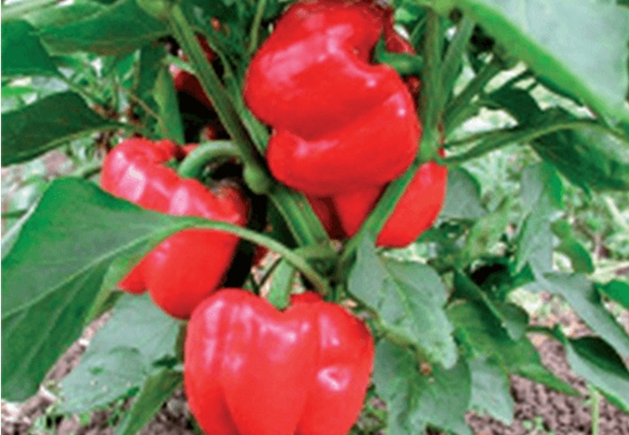 Seeds of Change® Organic Olympus Bell Pepper Seeds plant