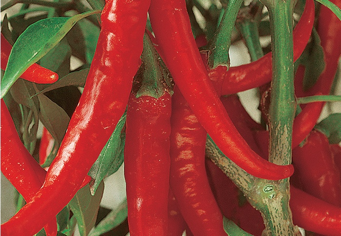 Seeds of Change® Organic Ring O Fire Cayenne Pepper Seeds plant