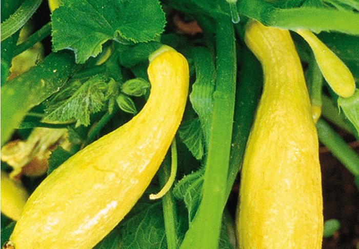 Seeds of Change® Organic Yellow Crookneck Squash Seeds plant