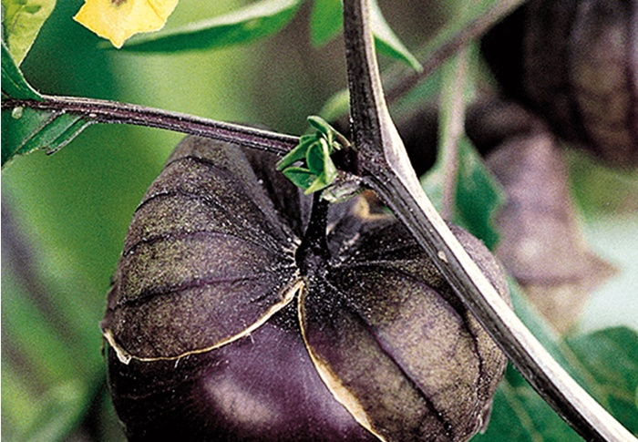 Seeds of Change® Organic Purple Tomatillo Seeds plant