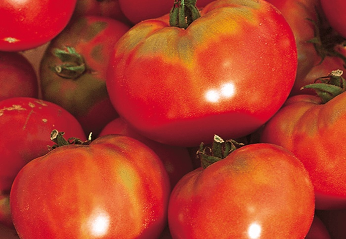 Seeds of Change® Organic Oregon Spring Tomato Seeds plant