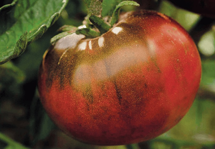Seeds of Change® Organic Paul Robeson Tomato Seeds plant