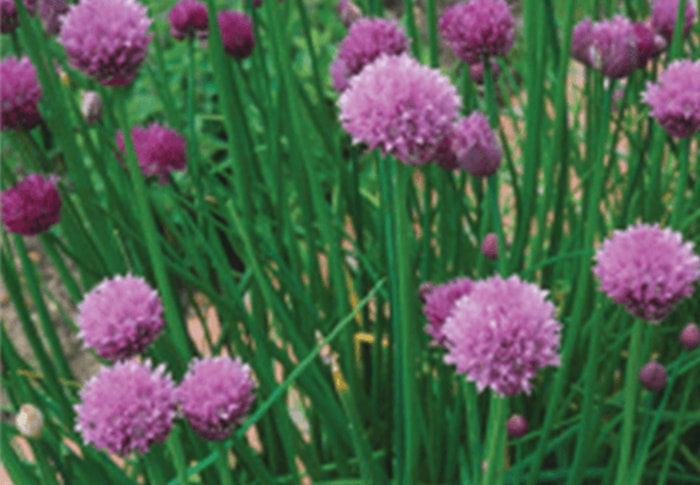 Seeds of Change® Organic Garden Chive Seeds plant