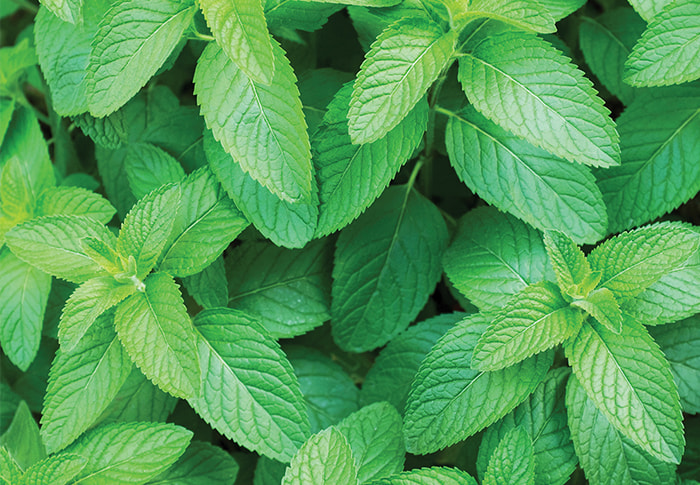 Seeds of Change® Organic Peppermint Seeds plant