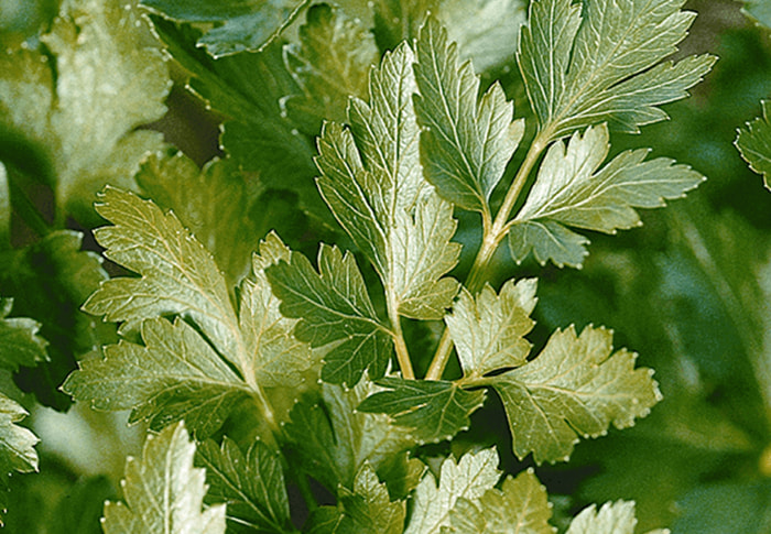 Seeds of Change® Parsley plant