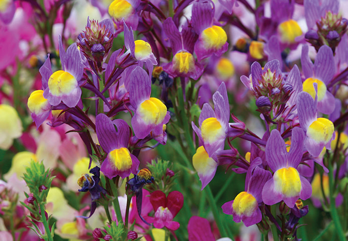 Seeds of Change® Linaria Fairy plant