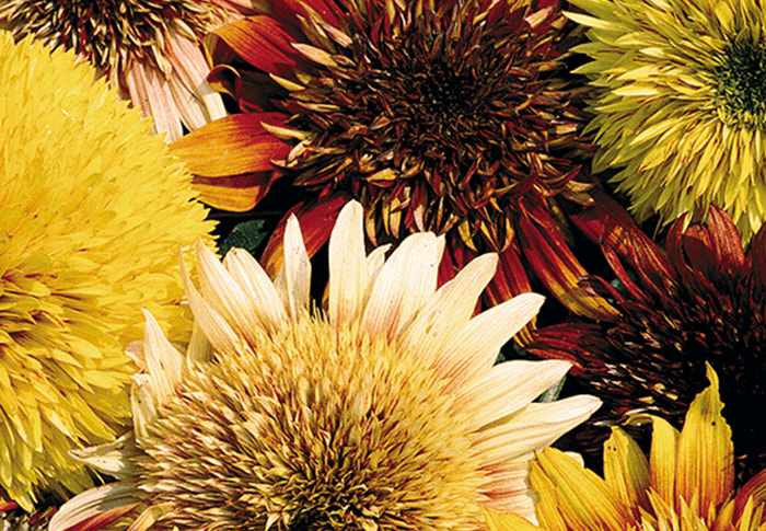 Seeds of Change® Sunflower plant
