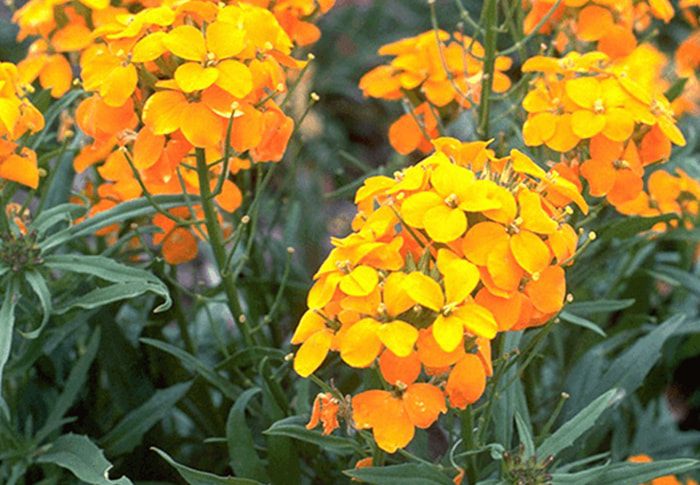 Seeds of Change® Wallflower plant