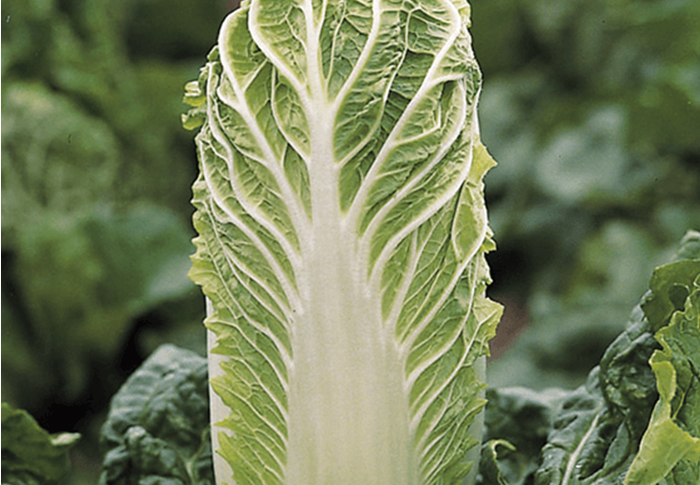 Seeds of Change® Organic Bilko Chinese Cabbage Seeds plant