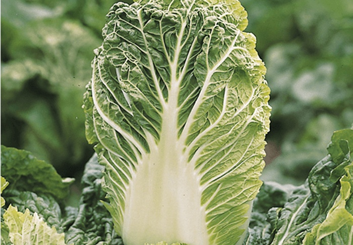 Seeds of Change® Organic Nikko Chinese Cabbage Seeds plant