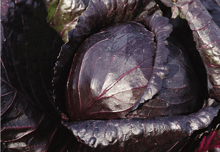 Seeds of Change® Organic Red Acre Cabbage Seeds plant